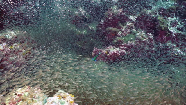 school of glass fish (parambassis ranga) on underwater coral reef - agility stock videos & royalty-free footage
