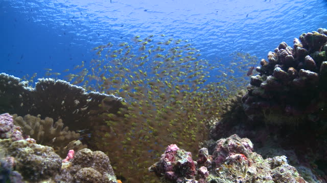 School of Golden Sweepers (Parapriacanthus ransonneti) with Cleaner Wrasses (Labroides dimidiatus), Baa Atoll, The Maldives
