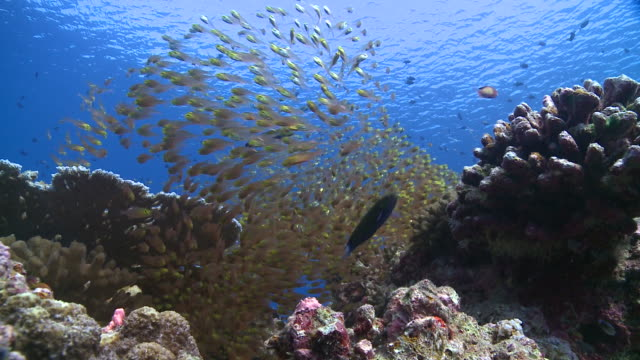 School of Golden Sweepers (Parapriacanthus ransonneti) with Cleaner Wrasses (Labroides dimidiatus), Redmouth Grouper (Aethaloperca rogaa) swims from behind school of Sweepers, Baa Atoll, The Maldives