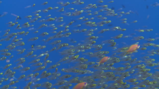 School of Golden Sweepers (Parapriacanthus ransonneti) with several Scalefin Anthias (Pseudanthias squamipinnis), Baa Atoll, The Maldives