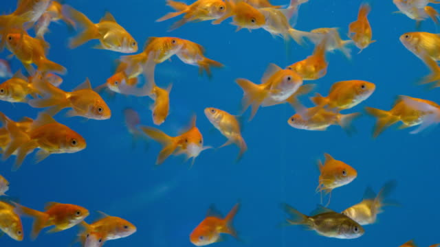 school of goldfish medium shot - school of fish stock videos & royalty-free footage