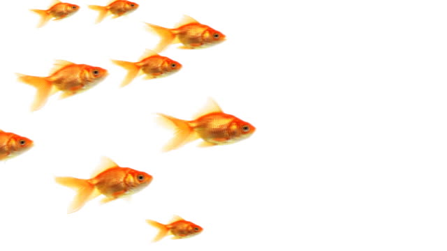 school of goldfish - white background stock videos & royalty-free footage