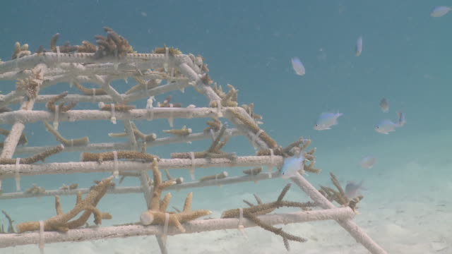School of Green Pullers (Chromis viridis) checking out newly installed Artificial Reef Structure, Kuda Huraa, North Male Atoll, The Maldives
