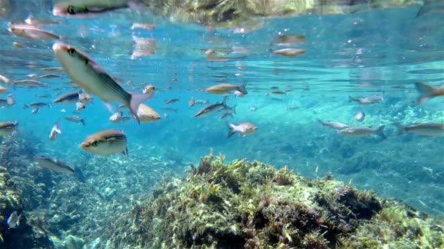 学校の灰色 mullet 、大西洋でアゾレス諸島 - アゾレス諸島点の映像素材/bロール