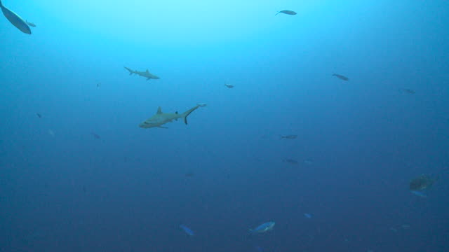 school of grey reef sharks (carcharhinus amblyrhynchos) and moon fusiliers, giant trevally (caranx ignobilis) swims by, vaavu atoll, the maldives - grey reef shark stock videos & royalty-free footage