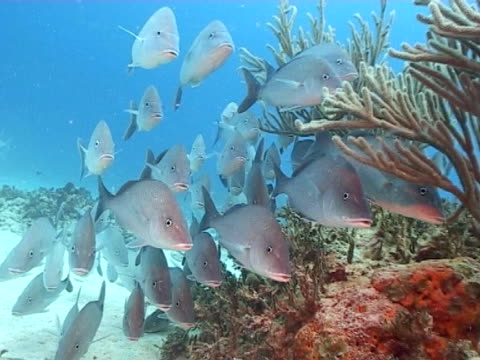 school of grunt fish milling out of current on edge of reef - mittelgroße tiergruppe stock-videos und b-roll-filmmaterial