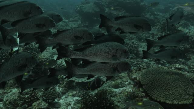 school of harlequin sweetlips swimming at coral reef - sweetlips stock videos & royalty-free footage