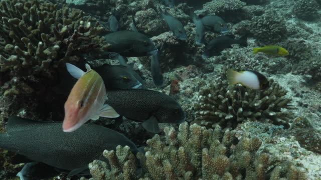 schule der harlekin-süßlippen schwimmen am korallenriff - meerbarbe stock-videos und b-roll-filmmaterial