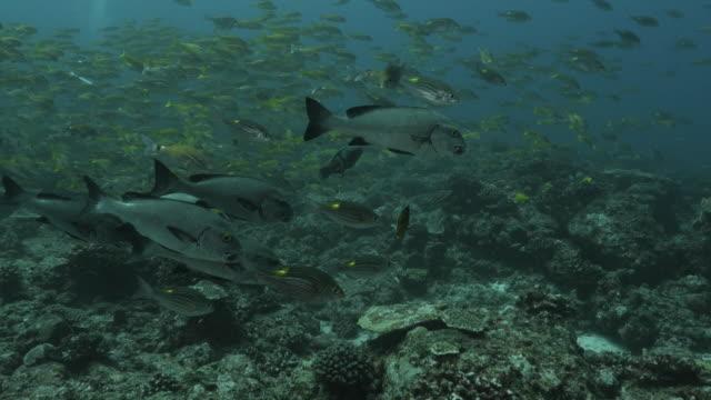 school of harlequin sweetlips swimming at undersea reef - sweetlips stock videos & royalty-free footage
