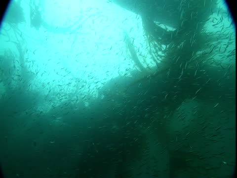a school of herring moves through a kelp forest. - kelp stock videos & royalty-free footage