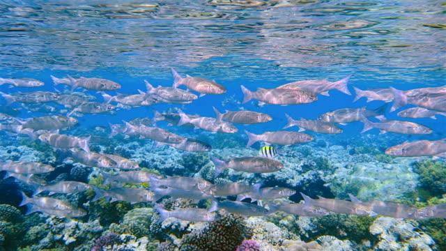 school of hornlip mullet / oedalechilus labiosus on coral reef / red sea - marsa alam - mullet fish stock videos & royalty-free footage