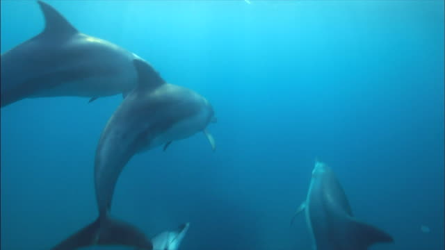 vidéos et rushes de school of indo-pacific bottlenose dolphins swimming under the sea / jeju-do, south korea - grand dauphin