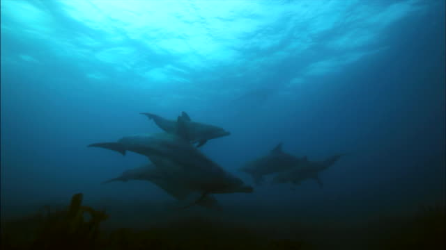school of indo-pacific bottlenose dolphins swimming under the sea / jeju-do, south korea - aquatic mammal stock videos & royalty-free footage