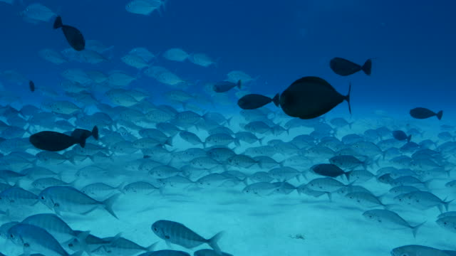 school of jack fish and unicorn fish undersea - jack fish stock videos and b-roll footage
