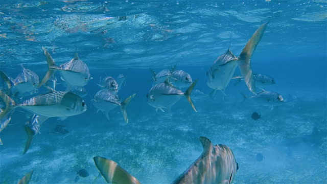 school of jack fish , horse-eye jack (caranx latus) fish on shark ray alley marine reserve in caribbean sea - belize barrier reef / ambergris caye - caribbean reef shark stock videos and b-roll footage