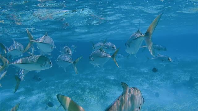 School of jack fish , Horse-Eye Jack (Caranx latus) fish on Shark Ray Alley Marine Reserve in Caribbean Sea - Belize Barrier Reef / Ambergris Caye