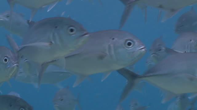 School of Jackfish sur tropical coralreef 6 pleine HD