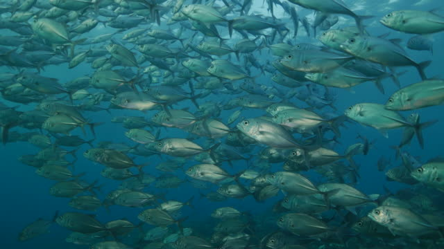 school of jackfish swimming under sunlight, tulamben, indonesia (4k) - jack fish stock videos and b-roll footage