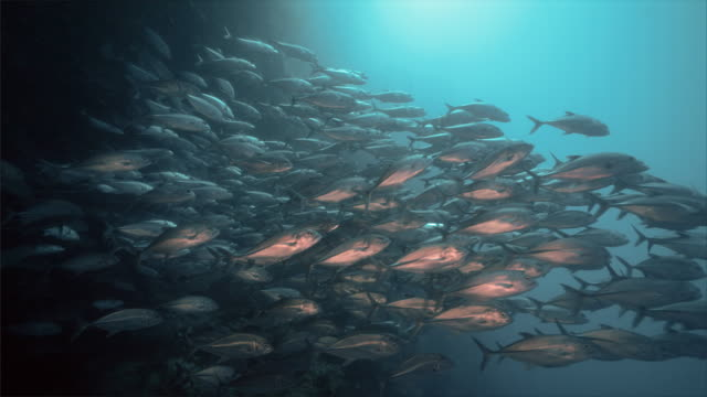 school of jackfish under water at balicasag island in bohol philippines - school of fish stock videos & royalty-free footage