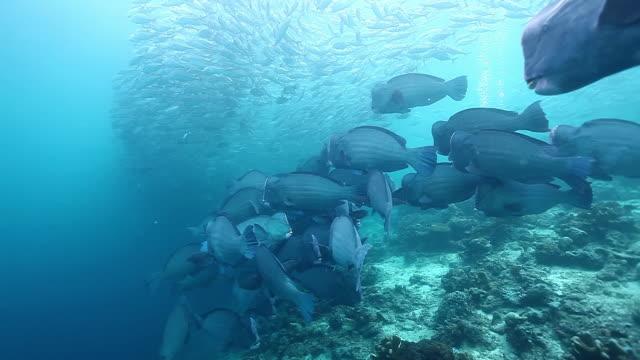 ms ts school of jacks fish swimming in front of bumphead parrotfish / sipadan, semporna, tawau, malaysia - parrotfish stock videos & royalty-free footage