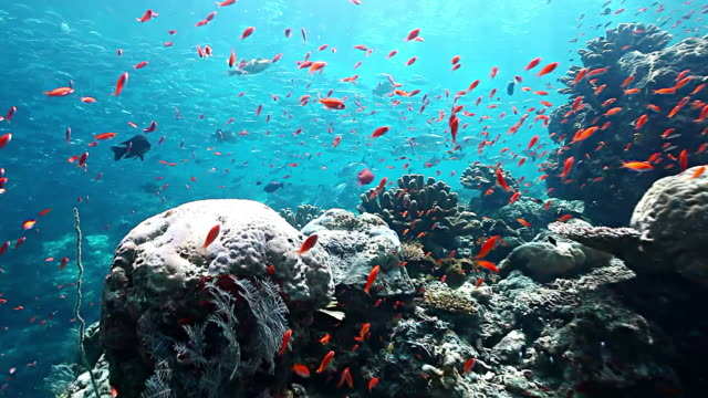 MS PAN School of jacks fish swimming over colorful reef with bright sunlight / Sipadan, Semporna, Tawau, Malaysia