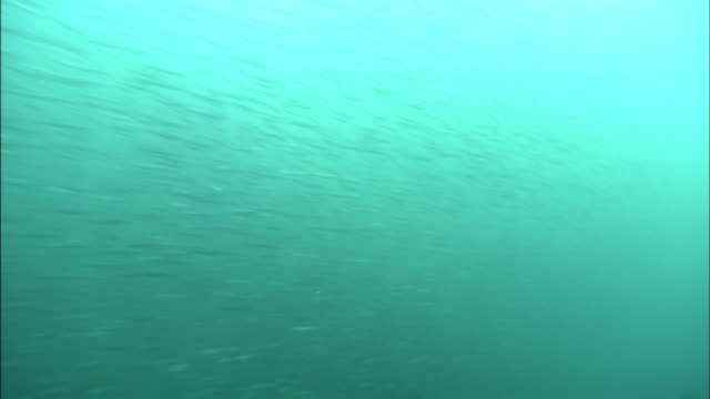a school of japanese anchovy swarms near the ocean's surface. diving-shot - anchovy stock videos & royalty-free footage