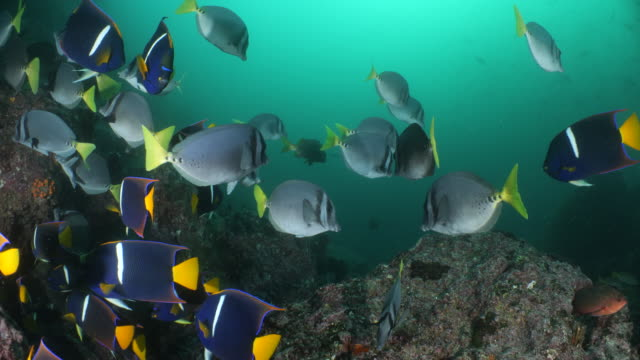 school of king angelfish swim a long a rocky ledge - angelfish stock videos & royalty-free footage