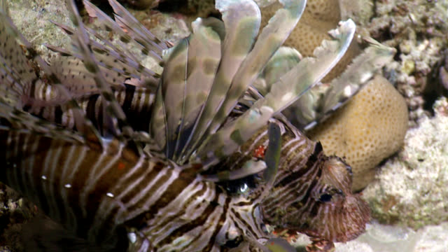School of lionfish red sea