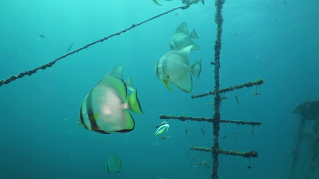 school of longfin spadefish (platax teira) at underwater coral nursery - ocean acidification stock videos and b-roll footage