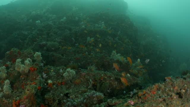 school of lyretail anthias fish (sea goldie) swimming at coral reef, taiwan - anthias fish stock videos & royalty-free footage