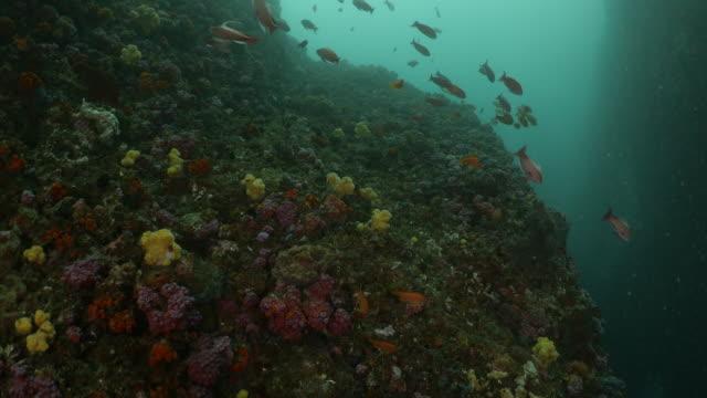 school of lyretail anthias fish (sea goldie) swimming at deep sea reef, taiwan - anthias fish stock videos & royalty-free footage