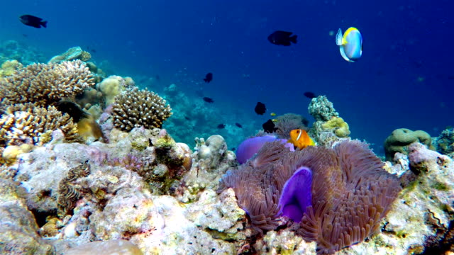 school of maldives anemonefish - maldives - coral stock videos & royalty-free footage