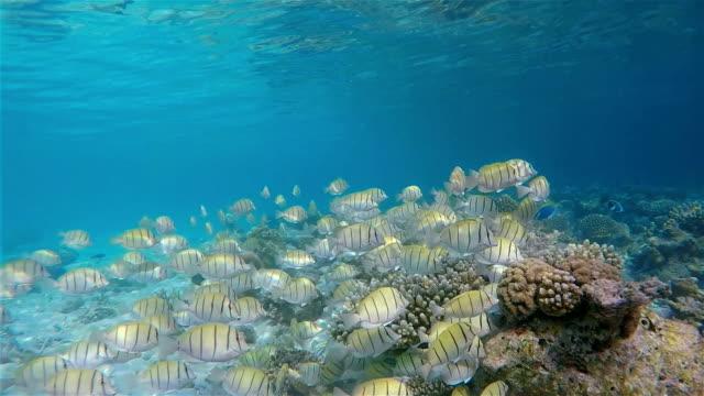school of manini / convict surgeonfish on maldives - zebratryck bildbanksvideor och videomaterial från bakom kulisserna