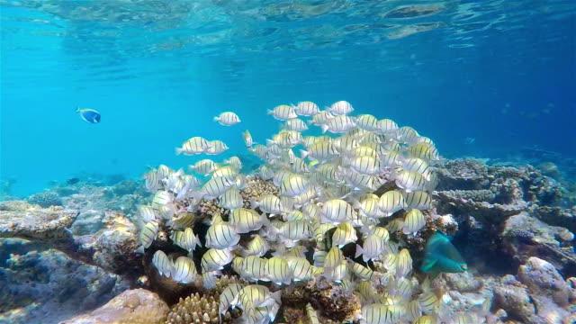 School of Manini (Convict) Surgeonfish on coral reef