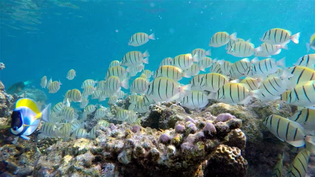 School of Manini (Convict) Surgeonfish on coral reef