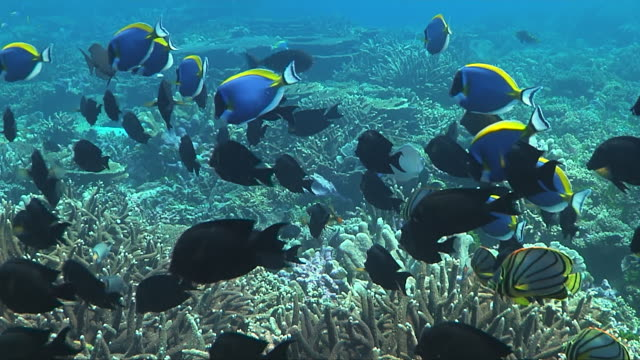 ms school of melas angelfish (centropyge tibicens, aka keyhole angelfish)with few powder blue tangs (acanthurus leucosternon) swimming over reef / south africa - tropischer fisch stock-videos und b-roll-filmmaterial