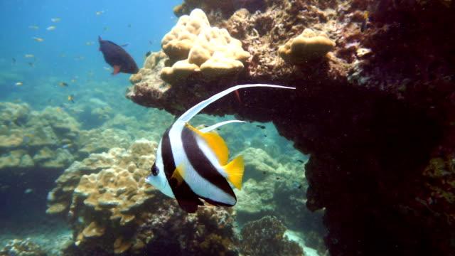 school of moorish idol fish (zanclus cornutus) on fragile coral reef ecosystem ocean environment.  koh haa dive site, andaman sea, krabi, thailand. - moorish idol stock videos and b-roll footage
