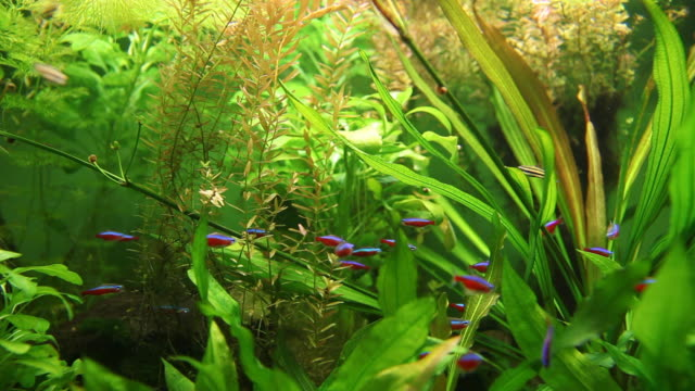 vídeos de stock e filmes b-roll de escola de néon peixe tetra em tank - planta d'água