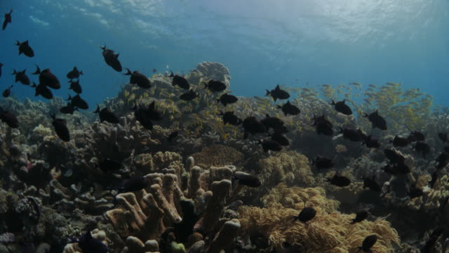 school of niger triggerfish and yellow goatfish in undersea reef - goatfish stock videos & royalty-free footage