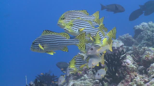 School of Oriental Sweetlips (Plectorhinchus vittatus) and Onespot Snappers (Lutjanus monostigma) on reef, Chromis swims through frame, CU, Vaavu Atoll, The Maldives