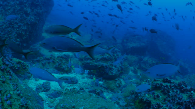 School of Pacific Creole fish at undersea reef