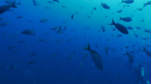 Skolan av Pacific Creole fisk som simmar på djupt hav, Galapagos