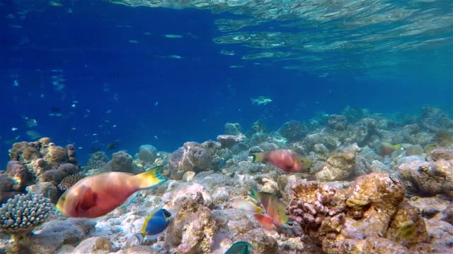 School of parrotfish / Chlorurus strongylocephalus on coral reef Maldives