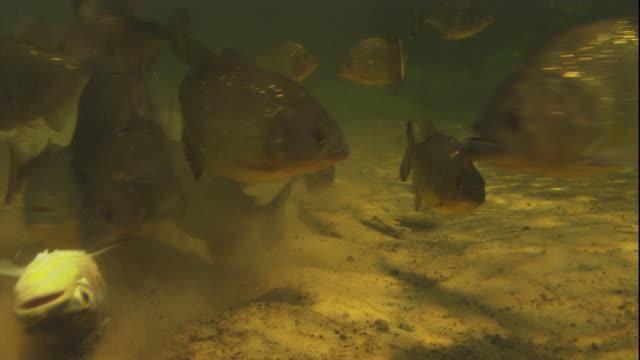 vídeos de stock, filmes e b-roll de a school of piranhas rip the flesh from a dead fish. available in hd. - peixe