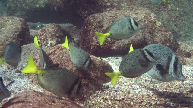 a school of pretty fish swims along a rocky seabed. - sea of cortez stock videos & royalty-free footage