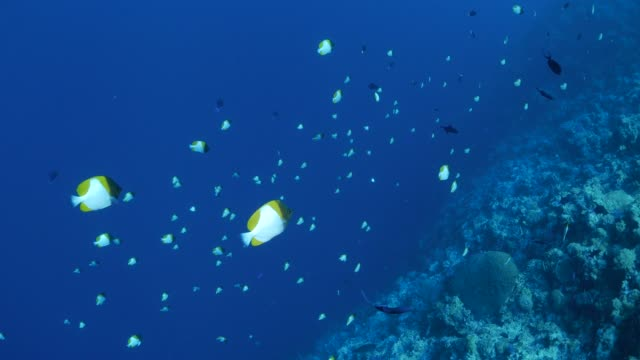 school of pyramid butterflyfish in reef, palau - hemitaurichthys polylepis stock videos and b-roll footage