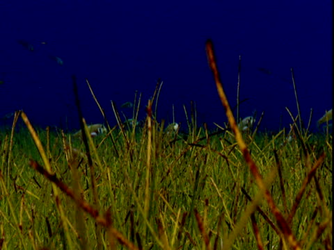 a school of razorfish rise and descend over undulating grasses on a shallow seabed. - history点の映像素材/bロール