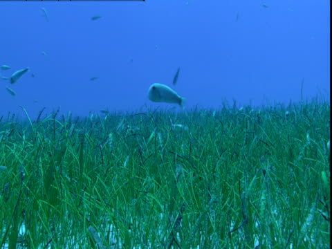 a school of razorfish swims above seagrass on the ocean floor in the bahamas. - seagrass video stock e b–roll