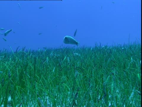 vídeos de stock e filmes b-roll de a school of razorfish swims above seagrass on the ocean floor in the bahamas. - sargaço