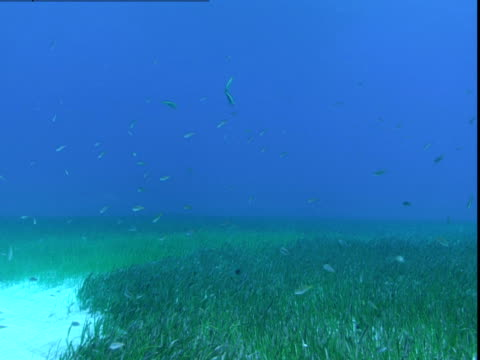 A school of razorfish swims above the seagrass on the bottom of the ocean in the Bahamas.
